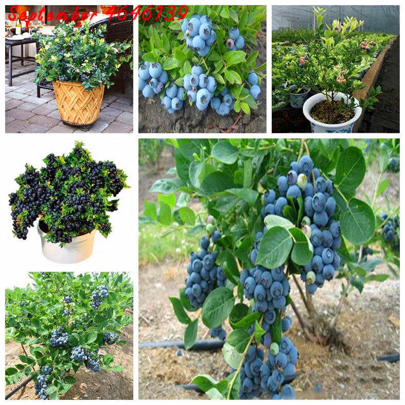 Nuovo 100 pcs bonsai mirtillo Commestibile Organic heirloom frutta nano bonsai albero piantare in vaso per la primavera forniture giardino di casa