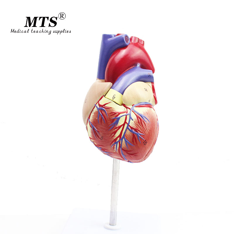 1 1 Human Heart anatomy Model high quality Medical Organ Anatomical Teaching Model in Medical Science from Office School Supplies
