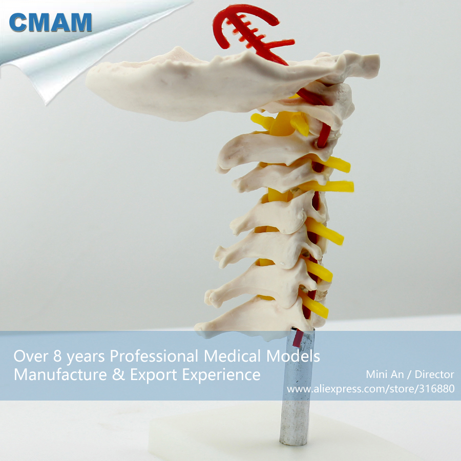 12386 CMAM-VERTEBRA03 Human Skeleton Cervical Vertebral Column w/ Neck Artery, Medical Science Educational Teaching Models cmam spine11 human vertebral column w half femur highly detailed model medical science educational teaching anatomical models