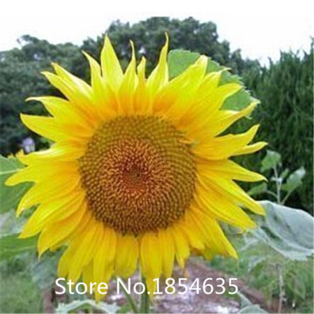 Attractive Sunflower Garden Decor – Home design and Decorating UC11