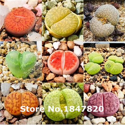 200 Lithops seeds Pseudotruncatella seeds, Succulents raw stone flower seeds Free Shipping