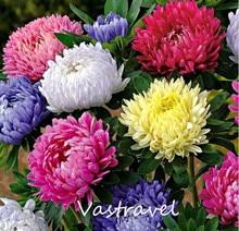 Китайский Астра (карлик Callistephus chinensis) 50 Семена DIY Главная Сад Любителей легко прорастают и Отлично Подходит для Срезанных цветов