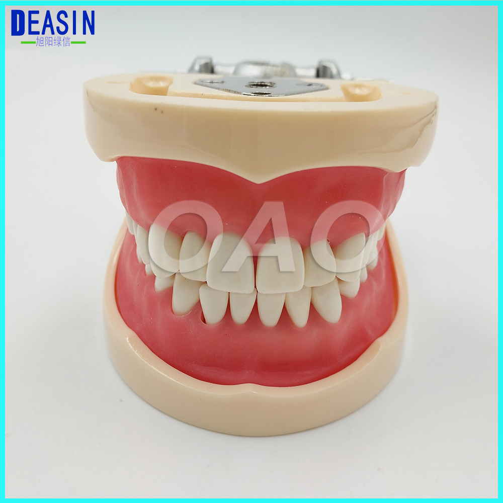 Dental standard model forTeeth Teaching Type Removable Teeth dentist student learning model soarday children primary teeth alternating transparent model dental root clearly displayed dentist patient communication