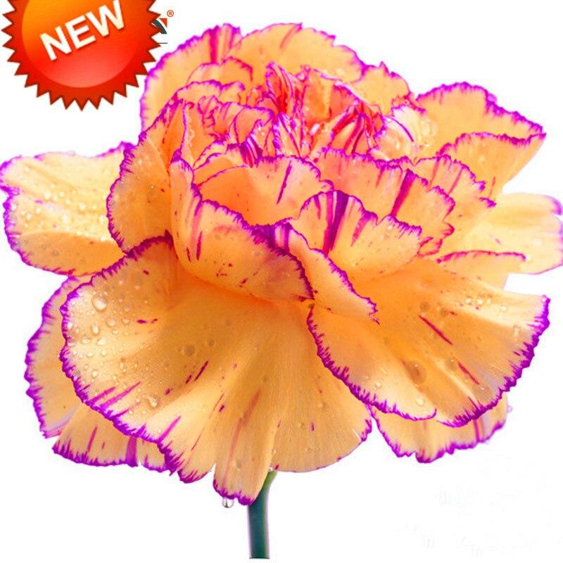 violet carnation bouquet promotion-achetez des violet carnation