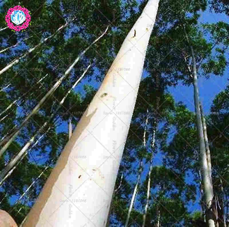 200pcs Eucalyptus seeds,bonsai tree seeds potted Courtyard plant for home garden plant