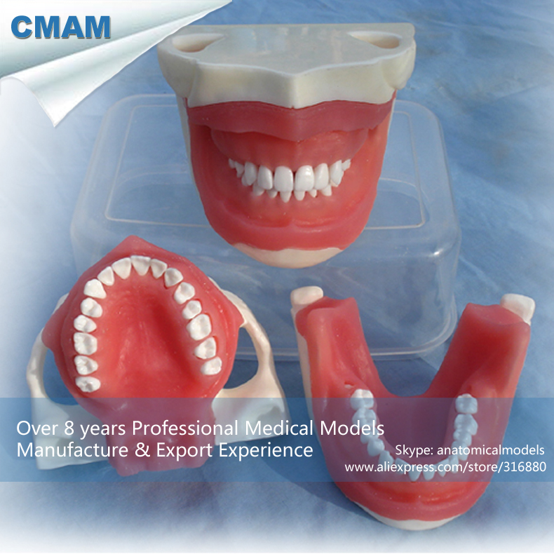 12607 CMAM-DENTAL25 Anesthesia Extraction Model , TMJ Area and Root Anatomy of Teeth , Anesthesia
