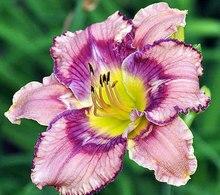 Гибридный Лилейник Цветы семян, редкие Цвет Гибридный hemerocallis Семена-получить jiggy смешивания день лилии семян пакет