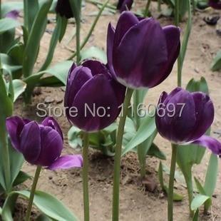 Free shipping purple 5blubs flower bulbs tulip bulbs sementes de flores case e jardim garden bonsai tree Home &garden + gift
