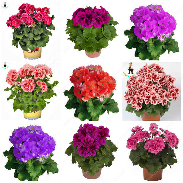 Free Shipping 100Pcs Geranium bonsai Flower Plants  planting Potted Geranium for Home Garden decoration