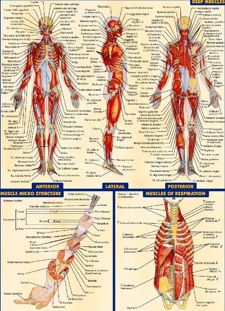 anatomique du corps humain graphique musculaire syst me. Black Bedroom Furniture Sets. Home Design Ideas