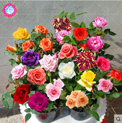100pcs/bag Rainbow Rose seeds MIX COLOR ROSE FLOWER SEEDS BONSAI PERENNIAL FLOWERS INDOOR POT PLANT FOR HOME GARDEN SEMILLAS
