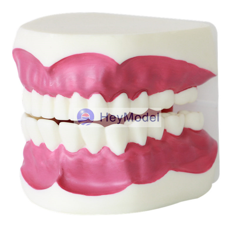 HeyModel Human Dental Care Teaching Demonstration Model Oral amplification 2 times enlargement HeyModel Human Dental Care Teaching Demonstration Model Oral amplification 2 times enlargement
