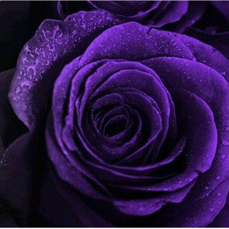 Charming Purple Rose Bonsai In Stock Flowers Seeds Outdoor Living Plants Garden Decoration 100 Pcs
