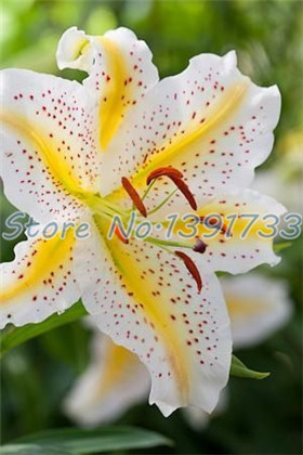 100 pcs  lily Plants indoor bonsai calla lily seeds beautiful garden lily flower seeds