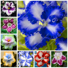 Rainbow Viola plants English Violet Flower Wild Pansy Heartsease Violetta Flower for flower pot planters 100 pcs/bag(China)
