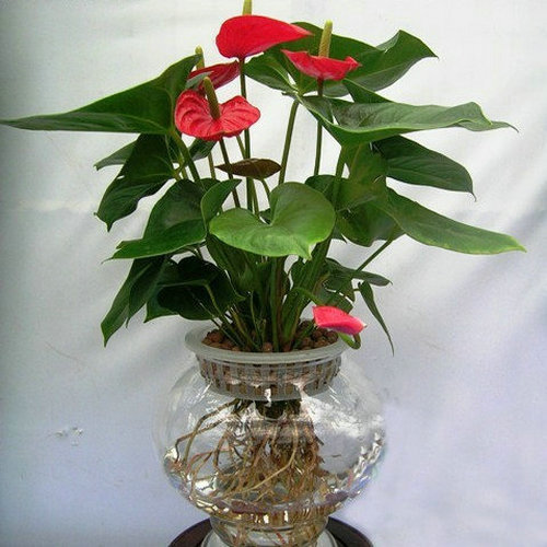 Yan pei show genuine water and soil of potted plants anthurium anthurium seedlings potted indoor - Indoor water plants list ...