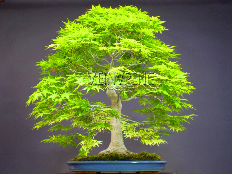 Loss Promotion!20 Pcs Blue Fire Maple Tree Bonsai Tree plant Rare Yellow Red Japanese Maple bonsai Plants For Home Garden Fl fake rose flowers