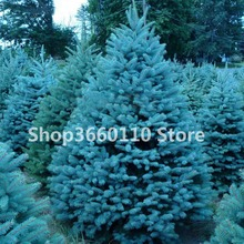30pcs rare Colorado blue spruce Bonsai PICEA PUNGENS GLAUCA good for growing in pots, Excellentas a Christmas Tree Plant cassie miles christmas crime in colorado