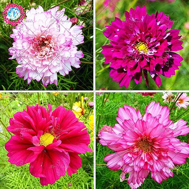 100pcsbag Rare Bonsai Cosmos Outdoor Flower Plant Bonsai Perennial