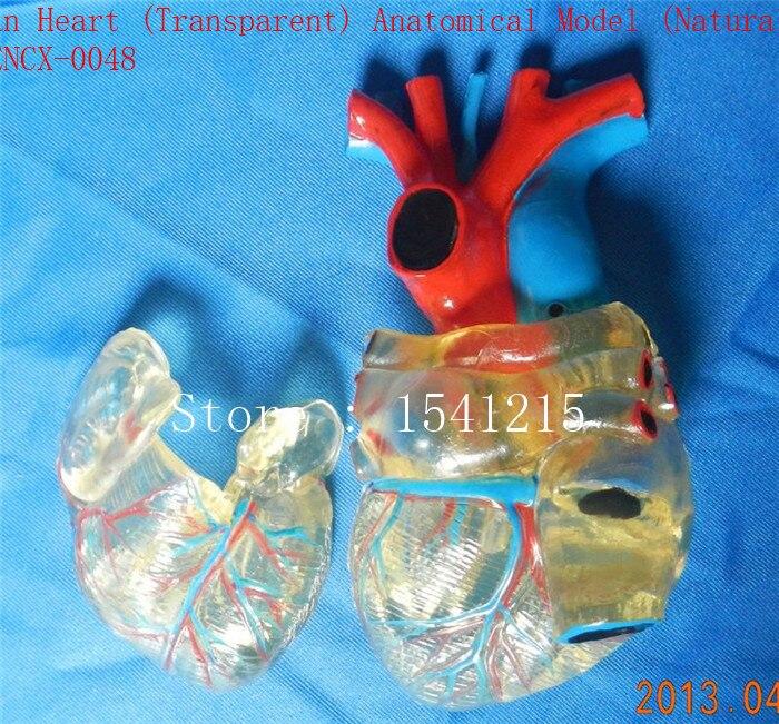 Heart model Teaching medical model Body specimen model Human Heart (Transparent) Anatomical Model (Natural) - GASENCX-0048