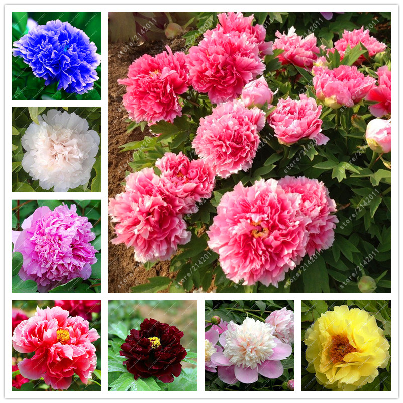 10pcs/bag peony seeds, peony yellow, peony flower seeds Chinese rose beautiful bonsai seeds potted plant for home garden