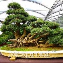 30Pcs Japanese Red Cedar Cryptomeria japonica Sugi Tree Seeds