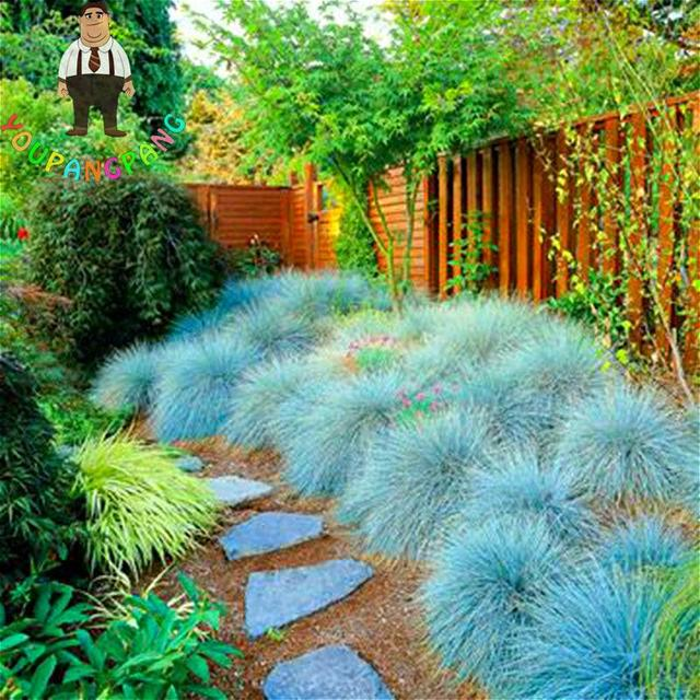 100 graines bleu f tuque herbe graines jardin int rieur for Ornamental grasses for small spaces