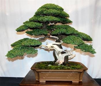 100 pcs juniper bonsai tree potted flowers bonsai purify the air absorb harmful gases evergreen juniper garden