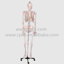 BIX-A1003 Human Skeleton Model(42cm) WBW372