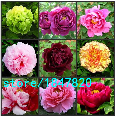 GGG Pretty Peony Seeds 5pcs/pack High Quality Peony Flower Seeds Potted Flowers Bonsai Plant Seeds for Home Garden