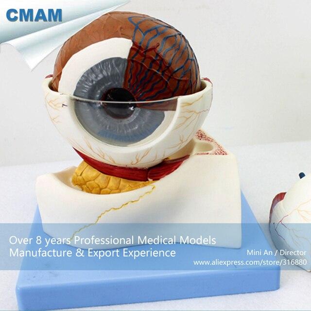 CMAM EYE05 Horizontal Plane Section Human Eyeball Anatomy Model ...