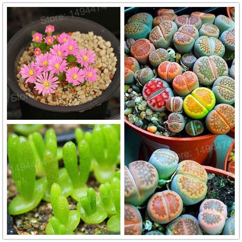 200 unids/bolsa Lithops pseudotruncatella jardín Flor de piedra viva flores rara suculenta plantas Tetragonia en maceta flores bonsái p