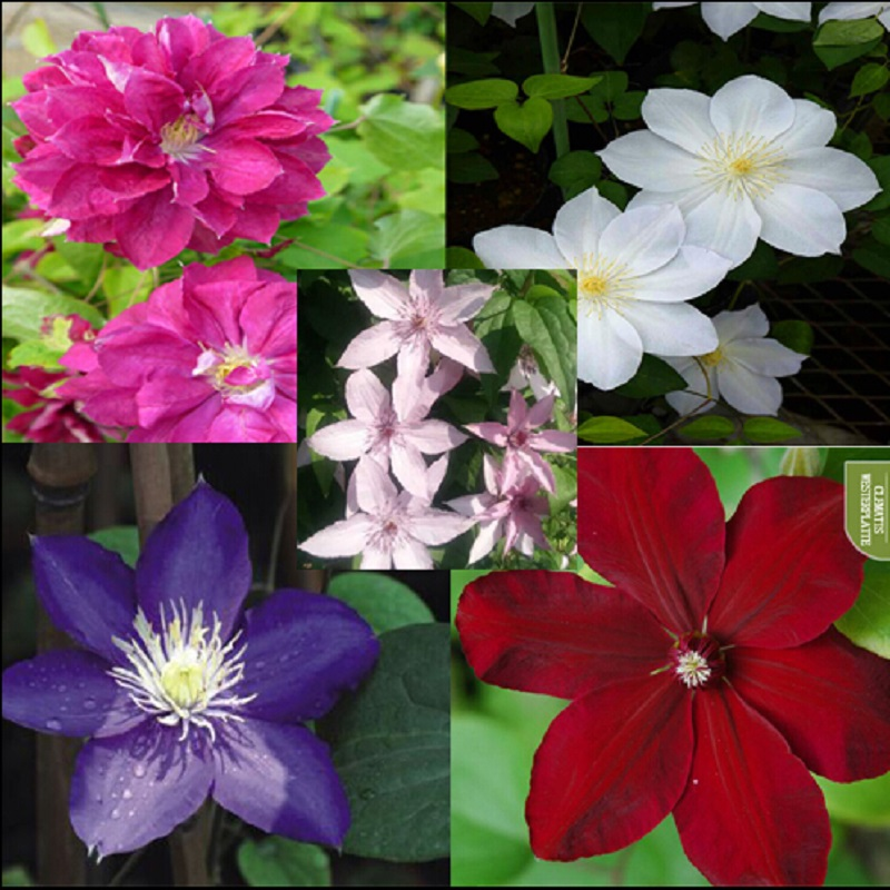 free ship Vine Clematis potted clematis garden flowers, no the clematis 40 seeds