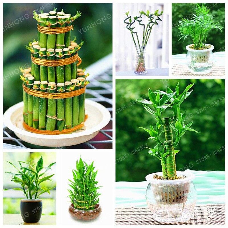 6 видов Lucky Bamboo выберите горшках бонсай автоматический выключатель драцена завод уровень почкования 95% 30 шт./упак.