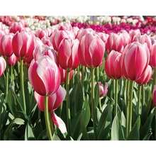 Laeacco Canvas Calligraphy Painting Pink Tulip Garden Posters and Prints Wall Artwork Pictures for Living Room Home Decoration