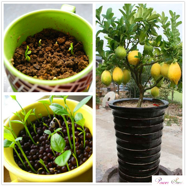Crazy Deal!! 20 pcs lemon seeds Fruit Garden Terrace Seed Orchard Farm Family Potted