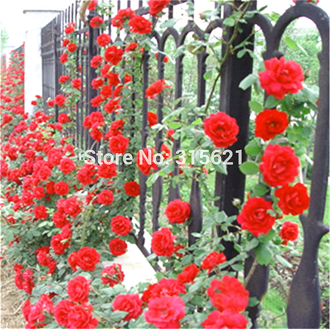Red Climbing Plant Polyantha Rose Seeds DIY Home Garden Decoration diy plant Pot Flower seeds 100 pcs / packing bonsai Sementes