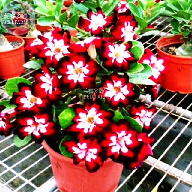 BELLFARM Rare Dark Flowing Adenium Desert rose, Professional Pack, 2 Seeds, single petal dark red, red and white petals E4031