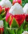 Best-Selling!10 PCS/Bag Cabbage Rare tulip seeds. Very rare flower seeds garden bonsai potted plants,sementes de flores ,#446PR5