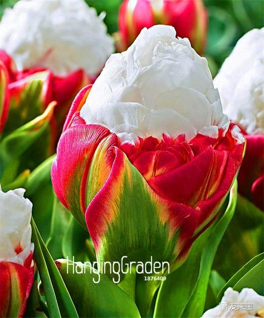 mejor la venta! 10 unids/bolsa raro tulipán semillas de col. muy