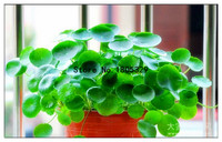 100 Dichondra Repens Silver Falls Emerald Falls Ground Cover Seeds in Hanging Baskets Very Creative Beautiful Potted Plants