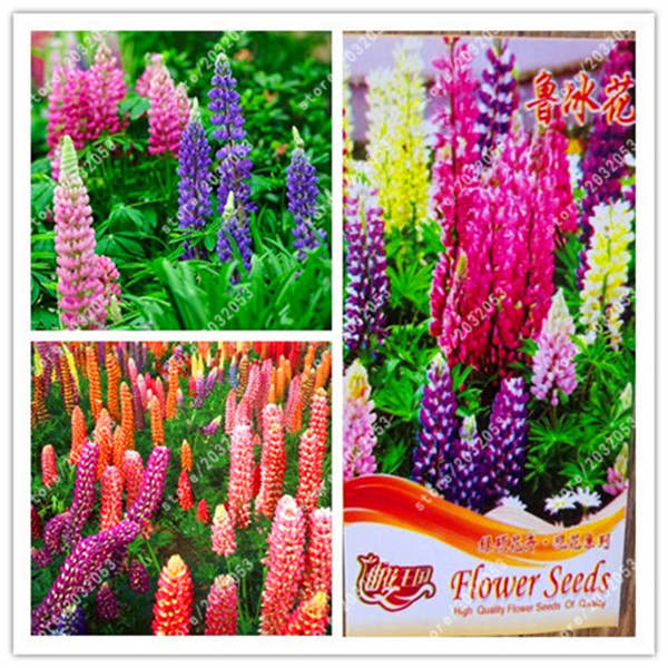 true lupine seeds wildflower annual succulent ground cover flower seeds,perennial potted plant seeds factory package 100% real
