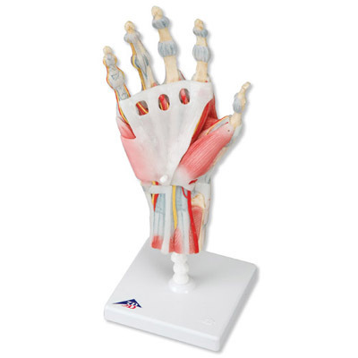 33*12*12 cm Die hand handgelenk skelett modell der sehnen und muskel ...