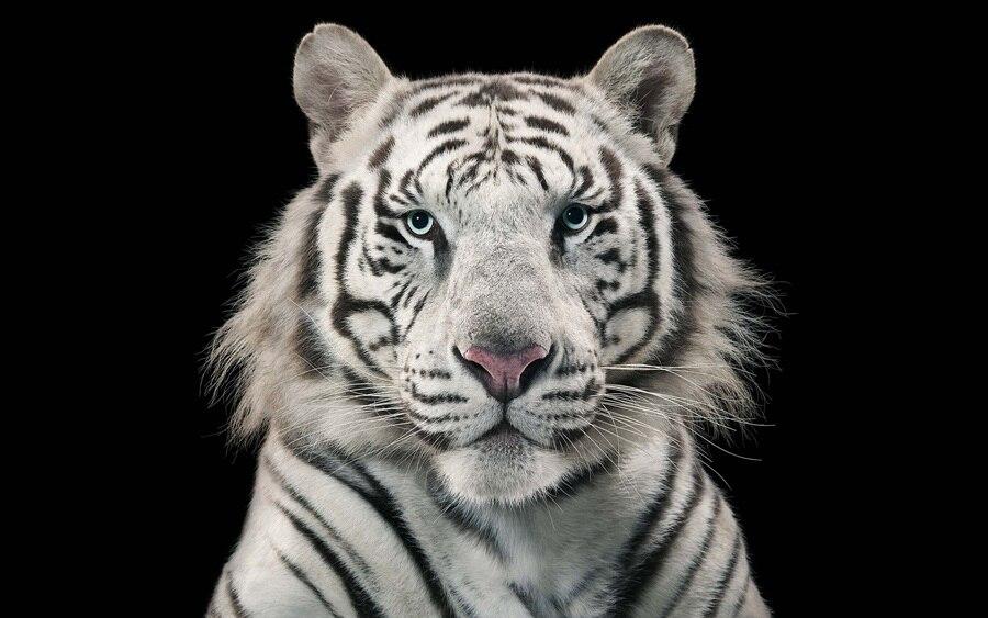 Tigre bianca tigre del bengala animale faccia foto modern for Foto di decorazione della casa del cottage