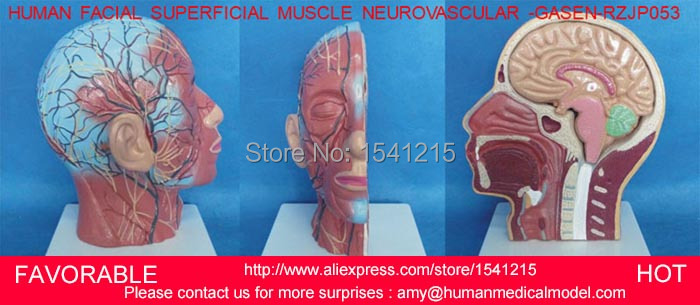 HUMAN HEAD ANATOMICAL MODEL BRAIN MODEL MEDICAL SCIENCE ,HUMAN SKELETON ENVIRONMENTAL MEDICAL ANATOMICAL TORSO GASEN-RZJP053 42cm male 13 torso model torso anatomical model of medical biological teaching aids equipment