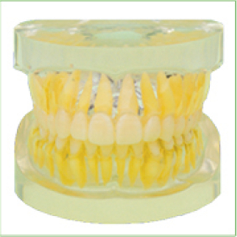 1pc Removable Standard Model,28pcs,Hard Gum,teeth models Teeth Jaw Models for dental school teaching dentist teeth Models soarday children primary teeth alternating transparent model dental root clearly displayed dentist patient communication