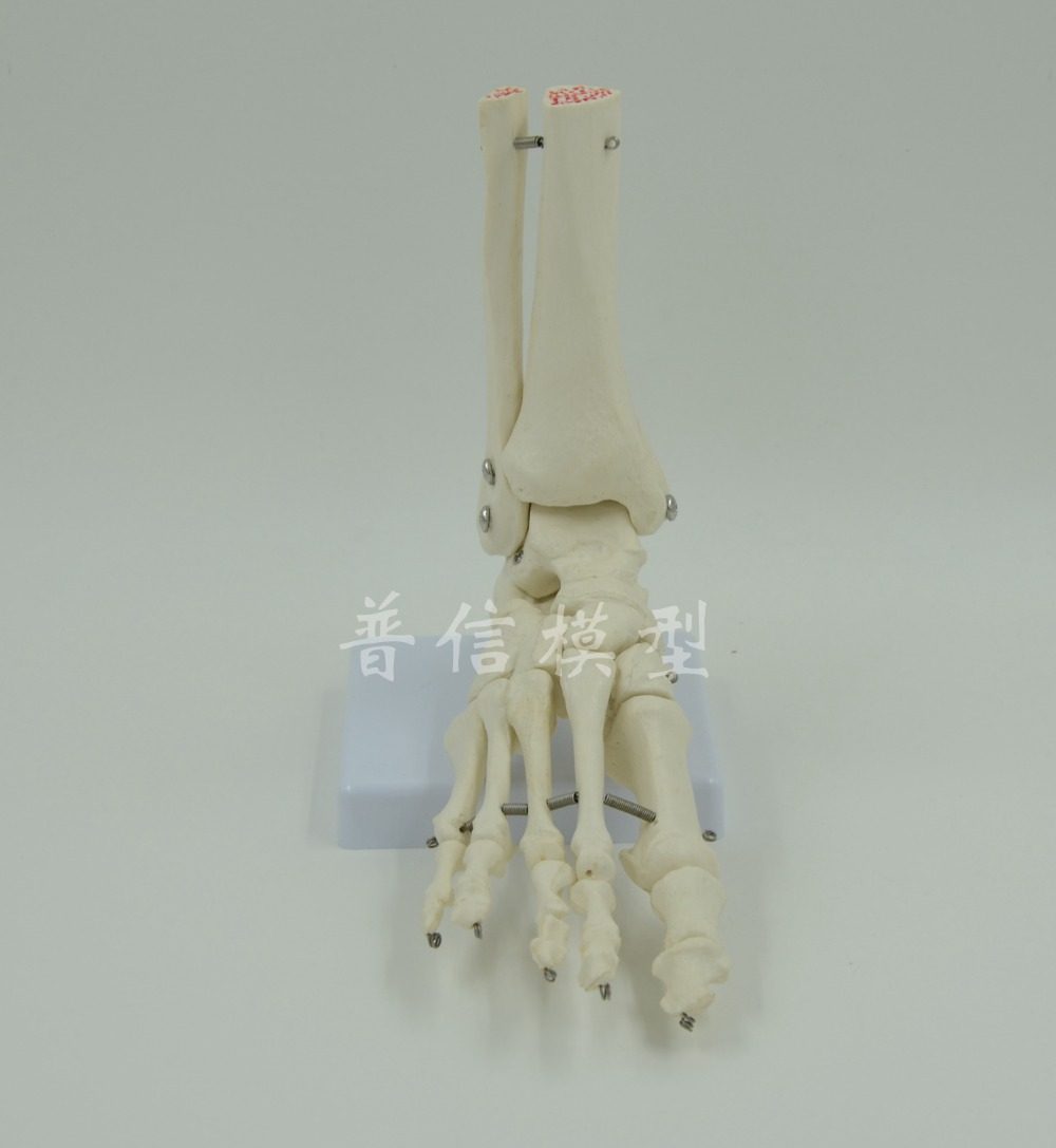 DongYun brand Human foot model foot skeleton model with half tibiofibula Medical Science teaching supplies dongyun brand human kidney anatomical model glomerulus amplification model urinary system medical science teaching supplies