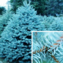 Blue Spruce bonsais Picea Tree Potted Bonsai Courtyard Garden Plant Pine Tree bonsais 20pcs (yun shan)(China)