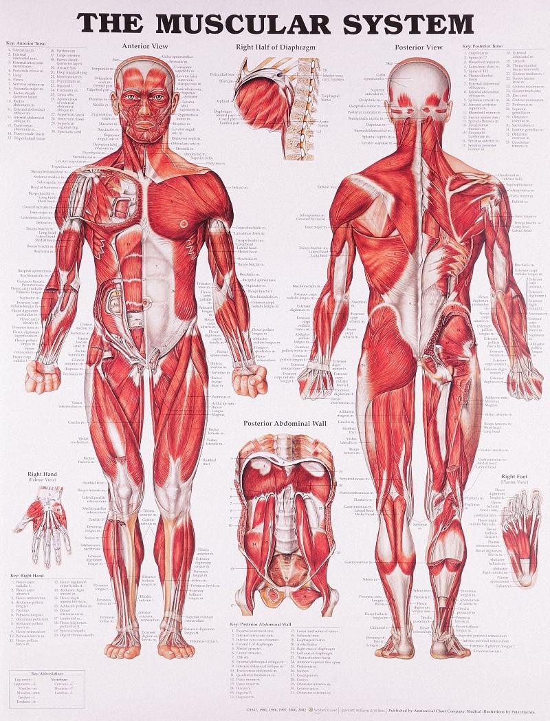 Medicina vintage Anatomía Humana posters papel Kraft pintura ...
