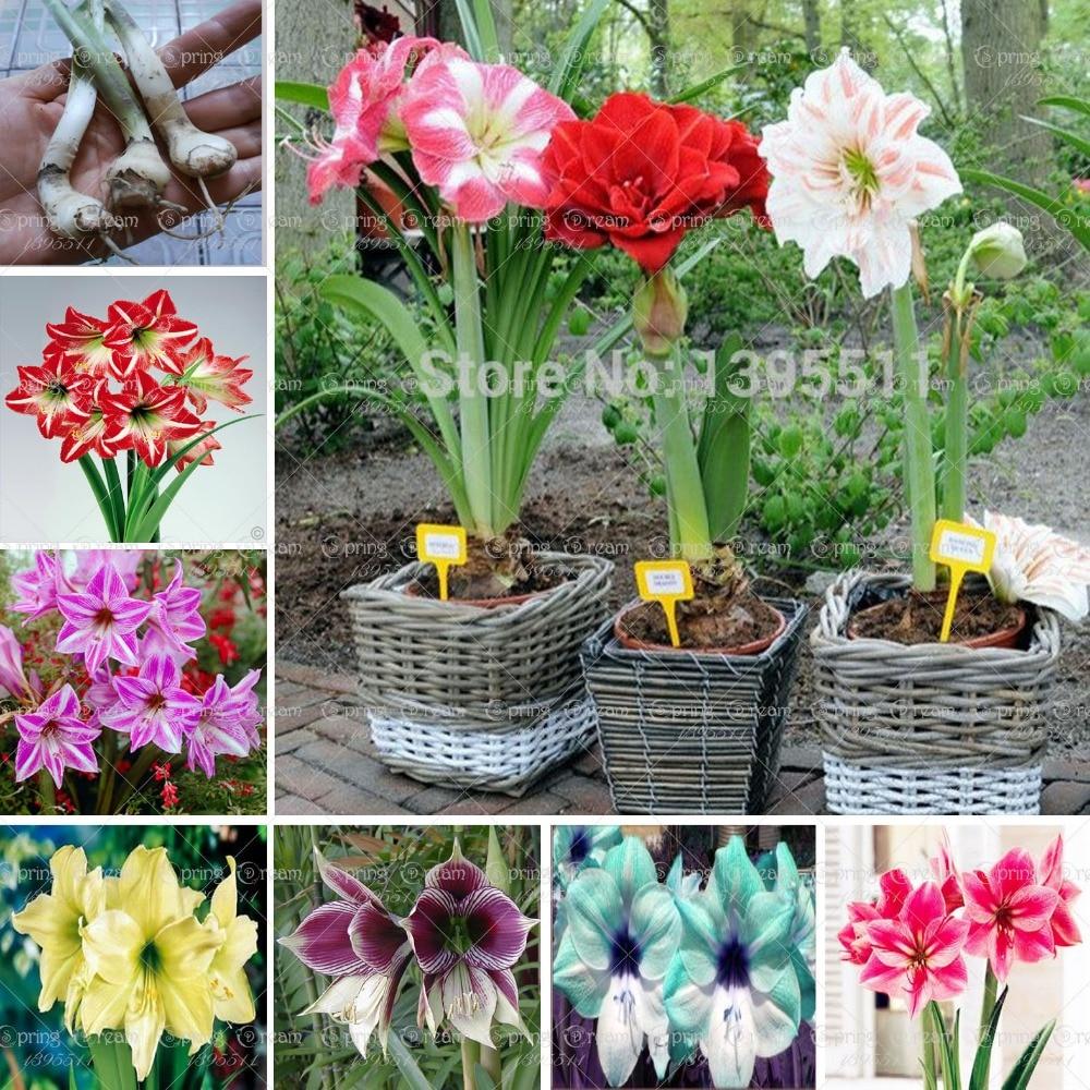 Ture amaryllis bulbs hippeastrum flowers hippeastrum bulbs for Amaryllis planter bulbe